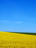 Het gebied van Canola en blauwe hemel Stock Afbeelding