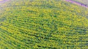 Het gebied van het Canolaraapzaad Luchthommelschot Hierboven het vliegen vooruit en stock video