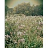 Het gebied van Chrysanth Royalty-vrije Stock Foto
