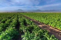 Het gebied van de aardappel Stock Fotografie