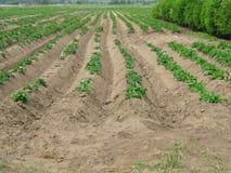 Het gebied van de aardappel Stock Afbeeldingen