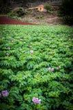 Het gebied van de aardappel Stock Afbeelding
