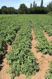 Het gebied van de aardappel Stock Foto's