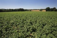 Het gebied van de aardappel Royalty-vrije Stock Fotografie