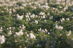 Het gebied van de aardappel met bloemen Royalty-vrije Stock Afbeelding