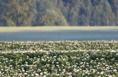 Het gebied van de aardappel met bloemen Royalty-vrije Stock Foto's