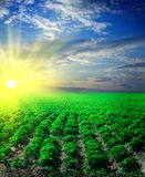 Het gebied van de aardappel op een zonsondergang royalty-vrije stock foto