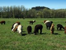 Het gebied van de alpaca Royalty-vrije Stock Foto
