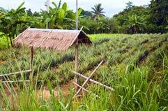 Het gebied van de ananas Stock Fotografie