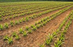 Het gebied van de ananas stock afbeeldingen