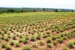 Het gebied van de ananas met hemel Stock Afbeelding