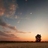 Het gebied van de avondtarwe Stock Foto