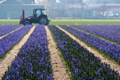 Het Gebied van de bloem in Holland royalty-vrije stock foto's