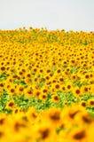 Het Gebied van de Bloem van de zon Stock Foto