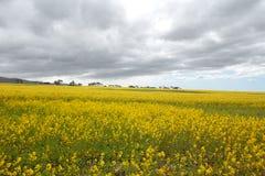 Het gebied van de Canolabloem in de lente Stock Fotografie