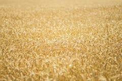 Het gebied van de de tarwekorrel van het land Royalty-vrije Stock Foto's
