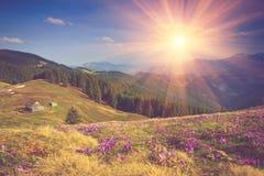 Het gebied van de eerste bloeiende lente bloeit krokus zodra de sneeuw op de achtergrond van bergen in zonlicht daalt Stock Afbeeldingen