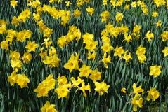 Het gebied van de gele narcis Stock Fotografie