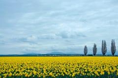 Het Gebied van de gele narcis Royalty-vrije Stock Afbeeldingen