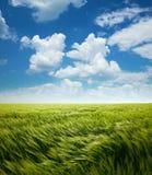 Het Gebied van de hebzuchttarwe en Blauwe Hemel met Wolken royalty-vrije stock foto