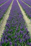 Het gebied van de hyacint stock afbeeldingen