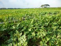 Het gebied van de landbouwwatermeloen Stock Foto