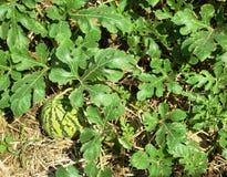 Het gebied van de landbouwwatermeloen Stock Afbeeldingen
