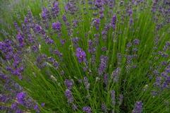 Het gebied van de lavendel Royalty-vrije Stock Afbeelding
