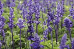Het gebied van de lavendel stock foto