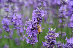 Het gebied van de lavendel Royalty-vrije Stock Fotografie