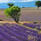 Het gebied van de lavendel Stock Foto's