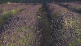 Het gebied van de lavendel stock footage