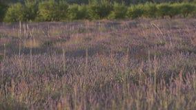 Het gebied van de lavendel stock videobeelden