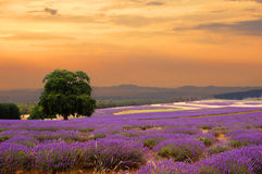 Het gebied van de lavendel bij zonsondergang royalty-vrije stock fotografie