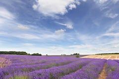 Het gebied van de lavendel in Cotswolds stock afbeelding