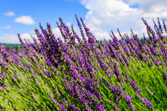 Het gebied van de lavendel in de Provence royalty-vrije stock fotografie