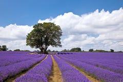 Het gebied van de lavendel in de zomer royalty-vrije stock afbeeldingen