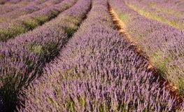 Het gebied van de lavendel, Franschhoek, Zuid-Afrika Royalty-vrije Stock Afbeeldingen