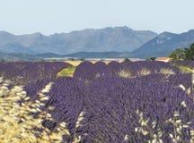 Het gebied van de lavendel met berg. Royalty-vrije Stock Fotografie