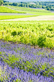 Het gebied van de lavendel met wijngaarden stock foto