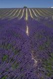 Het gebied van de lavendel in perspectief Stock Foto