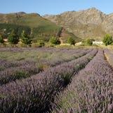 Het gebied van de lavendel in Zuid-Afrika Royalty-vrije Stock Fotografie