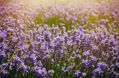 Het gebied van de lavendelzomer Royalty-vrije Stock Foto