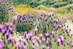 Het gebied van de lente met rozemarijn Stock Afbeeldingen