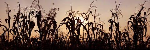 Het gebied van de maïs Stock Afbeeldingen