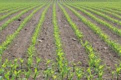 Het gebied van de maïs Royalty-vrije Stock Afbeeldingen