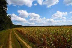 Het gebied van de maïs in platteland royalty-vrije stock afbeeldingen