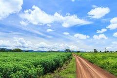 Het gebied van de maniokinstallatie Stock Fotografie