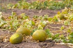 Het gebied van de meloen stock afbeelding