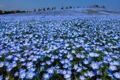 Het gebied van de Nemophilabloem in volledige bloei, Japan stock fotografie